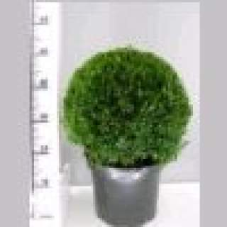 Buxus semp Ball 30-35 cm