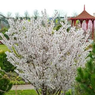 Prunus nipp. Brilliant
