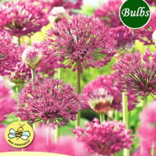 ALLIUM PURPLE SENSATION BULK VALUE