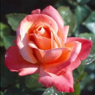 ROSA SILVER JUBILEE