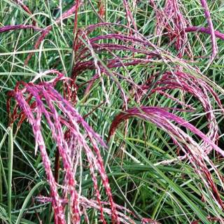 MISCANTHUS sin. Pink Cloud