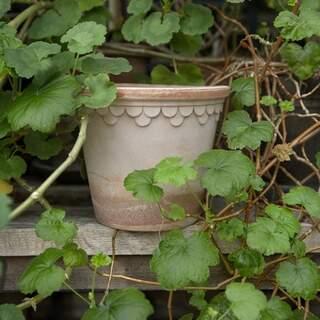 Copenhagener Rose, 18 cm, Pot