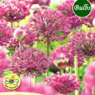 ALLIUM PURPLE SENSATION XL