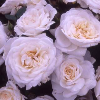 ROSA H With Love Floribunda