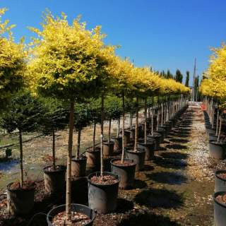 LIGUSTRUM UNDULATUM LEMON & LIME CLT 18 CHIOMA 30 + CM 1/2 STD