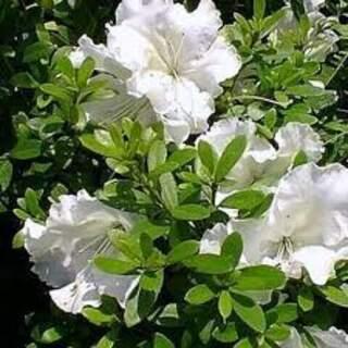 Azalea (J) Pleasant White
