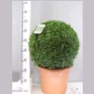 Buxus semp Ball 50-55cm