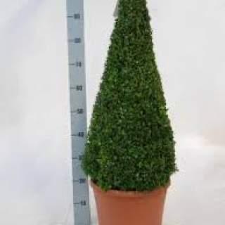 Buxus semp PYR 70-80cm