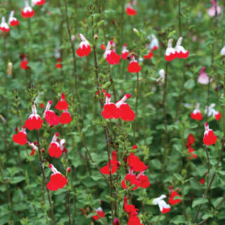 SALVIA micr. Hot Lips