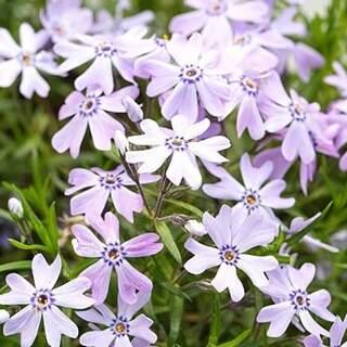 Phlox subulata Fabulous Blue