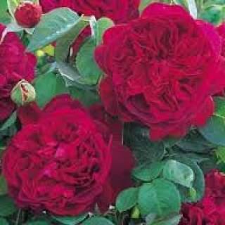 Rosa William Shakespeare 2000