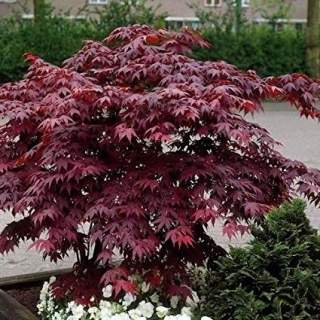 Acer pal. Bloodgood