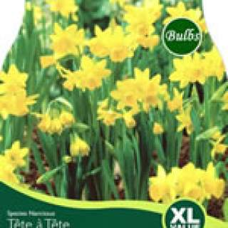 NARCISSI TETE A TETE VALUE BAG