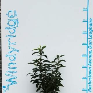 Prunus lusitanica Angustifolia 3ltr