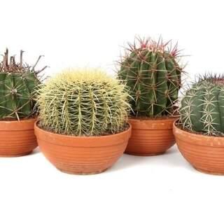 Cactus mix  Terracotta pot 23 cm