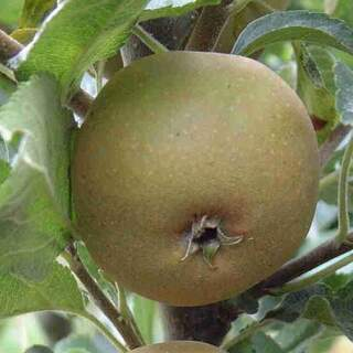 EGREMONT RUSSET Apple tree