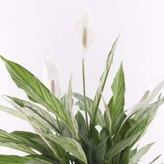 Spathiphyllum Silver Cupido