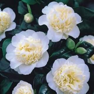 Camellia wil. Jurys Yellow