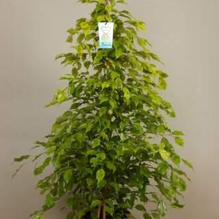 Ficus ben. Reginald 150 CM