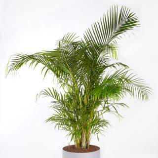 Dypsis lutescens (Areca)