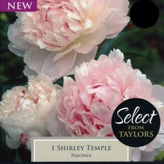 1 PAEONIA SHIRLEY TEMPLE 2-3 EYES