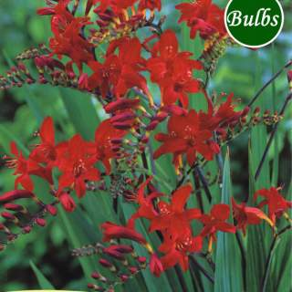17 CROCOSMIA LUCIFER 8-10