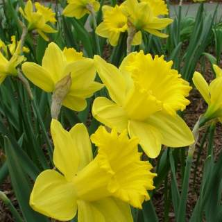 NARCISSI KING ALFRED SELECT 7KG