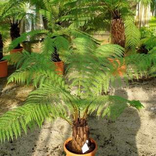 DICKSONIA ANTARCTICA - Tree Fern