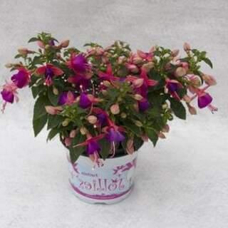 Fuchsia 1L