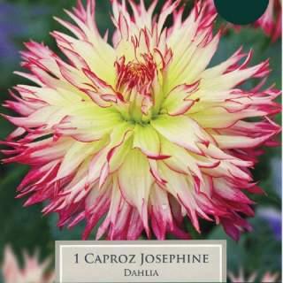 DAHLIA CAPROZ JOSEPHINE I