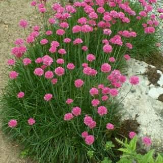 Armeria maritima splendens (pink)