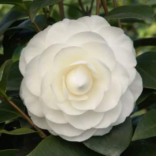 Camellia jap. Nuccios Gem