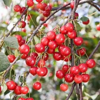 Prunus Morello