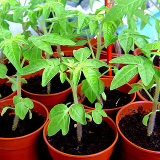 Tomato in variety 5 for 10