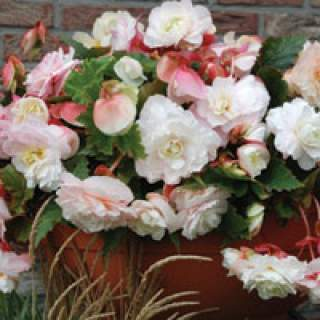 4 BEGONIA ODOR MOTHERS DAY 4-5