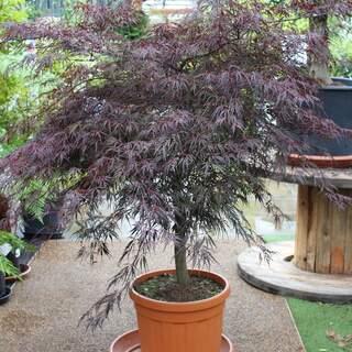 Acer palmatum Inaba-shidare / 100-125 CM