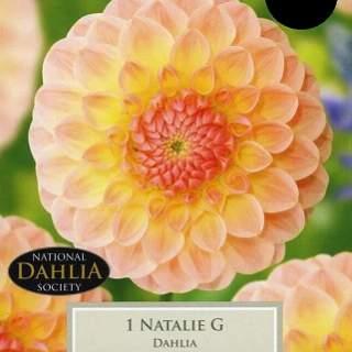 DAHLIA NATALIE G I