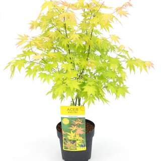Acer palm. Orange Dream
