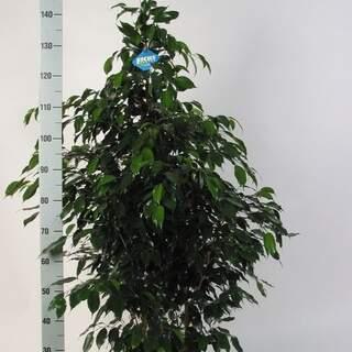 Ficus ben. Danielle 140 CM
