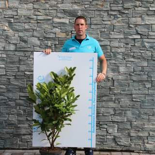 Prunus laur. 10ltr