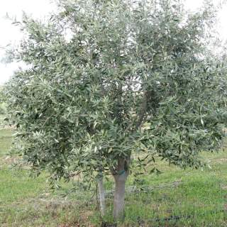 OLEA EUROPEA IN CVS CLT 110 / 150   CIRC. TR. 20 - 25 CM  1/2 STD