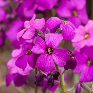 ERYSIMUM hybrida Purple