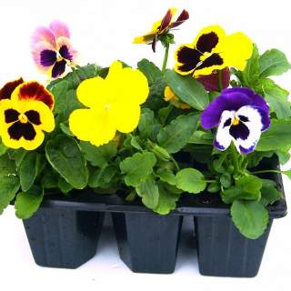 Pansies & Violas  mixed Selection