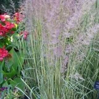 Calamagrostis acut. Eldorado