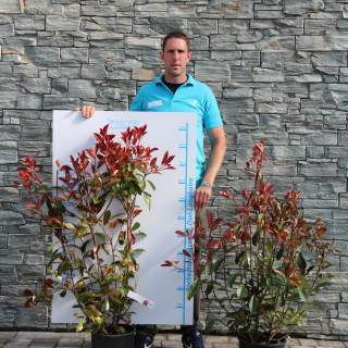 PHOTINIA SERR. RED ROBIN CLT