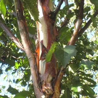 Betula alba fascination