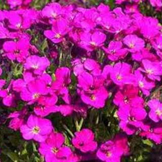 Aubrieta  Bressingham Red