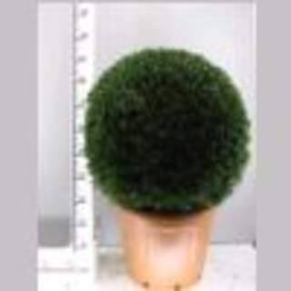 Buxus Ball 60-65cm