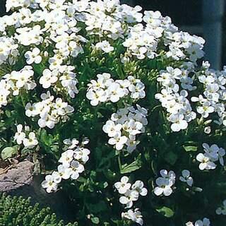 Aubrieta Kitte White