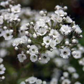 Gypsophila pan. White Festival